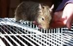 Чилийская дегу один из самых умных грызунов
