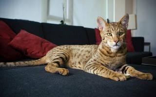 Самые большие домашние кошки какие они