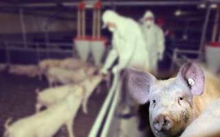 Болезни свиней. Чем болею свиньи