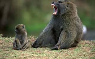 Обезьяны бабуины в заповедниках