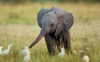 Слон в зоопарке чем питаются слоны в неволе