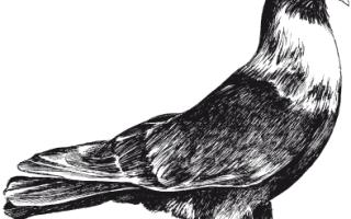 Бойные голуби Кубани