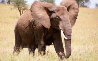 Средняя продолжительность жизни слонов