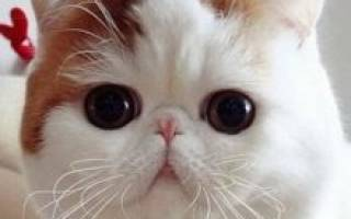 Порода кошек экзотическая короткошерстная
