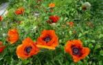 Мак многолетний восточный — Все цветы