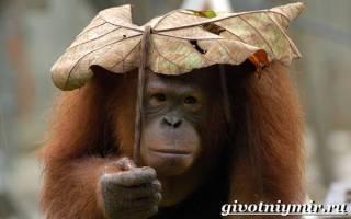 Интересные особенности поведения орангутана
