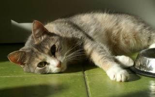 Панкреатит кошек: причины, симптомы, лечение