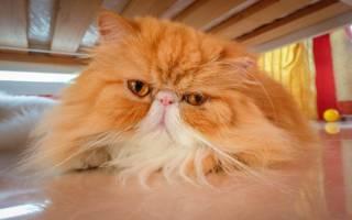 Волчанка аутоиммунная болезнь у кошек