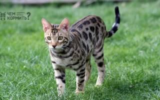 Каким кормом лучше кормить бенгальских кошек