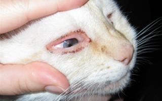 У кота или кошки слизь в глазах что делать