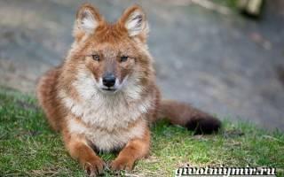 Красный волк редкое животное