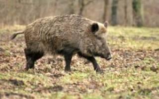 Виды диких свиней американская дикая свинья