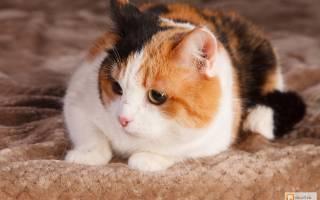 Породы трехцветных кошек для содержания дома
