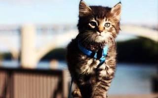 Можно ли выгуливать кошку