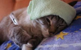 Как правильно лечить микоплазмоз у кошек
