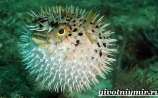 Ядовитая рыба фугу » Все о рыбе и рыбалке