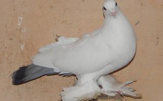 Тульские голуби сороки описание породы