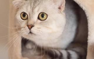 Можно ли давать молоко вислоухому котенку