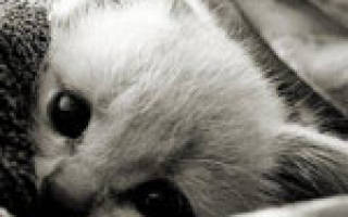 Как лечить кошачий грипп в домашних условиях?