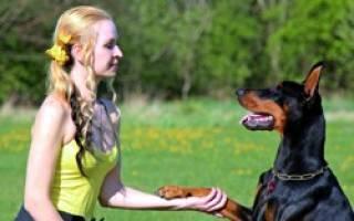Как воспитать щенка добермана