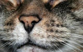 Черные точки на коже у кошки