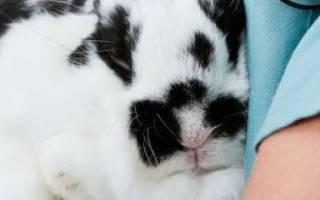 Основные болезни ушей у кроликов и их лечение