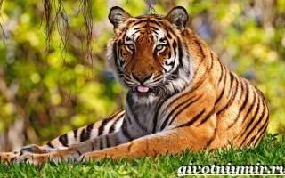 Бенгальский тигр содержание в зоопарках