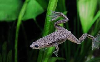 Аквариумная лягушка — альбинос кто она