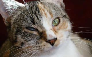 Ринотрахеит у кошек и котов