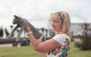 Русская голубая кошка жемчужина Белого моря