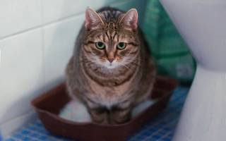 Можно ли давать кошке касторовое масло