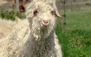 Шерсть козы классировка уход