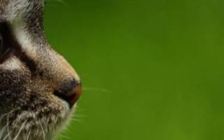 Синусит у кошек симптомы и лечение