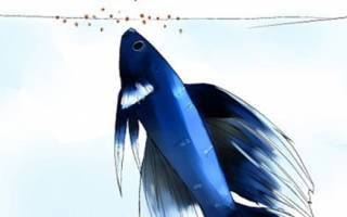 Как кормить рыбку петушка сухим кормом