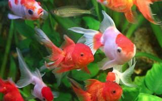 Сколько раз в день кормить золотых рыбок