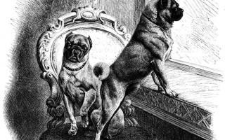 Мопс — история происхождения собаки