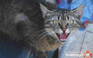 Почему кошка шипит на хозяина