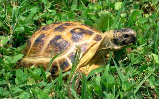 Среднеазиатская черепаха в домашних условиях