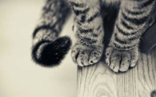 Какое значение имеет хвост для кошек и котов