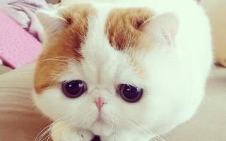 К какой породе относится кот по кличке Снупи