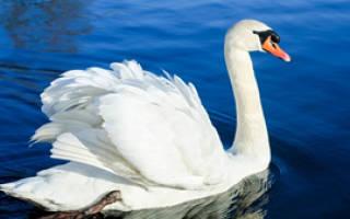 Интересные факты о лебедях – подборка фото