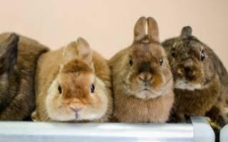 Виды домашних декоративных кроликов