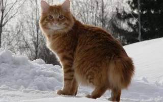 Кошка бобтейл как появилась кошка без хвоста