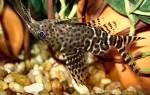 Синодонтис (Synodohtis) — Аквариумные рыбки