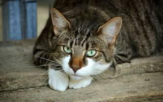 Коросты у кошки на шее и за ушами