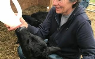 На ферме родился теленок как рождаются телята