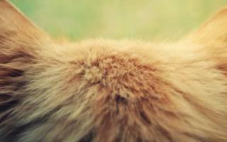 У кошки опухоль на ухе как лечить