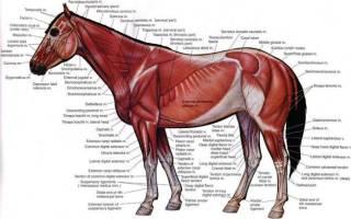 Анатомическое строение лошади
