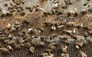 Как зимуют бакфастские пчелы