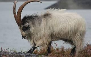 Инфекционные болезни коз